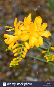 Bestyellow by Bright Yellow Tubular Flowers In The Spike Of The Summer Flowering