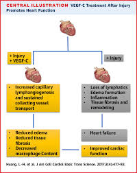 cardiac lymphatic vessels transport and healing of the infarcted