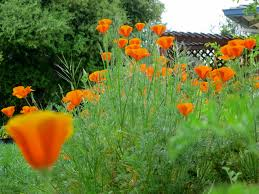 california native plant gardens the california poppy blooms now a fabulous native plant