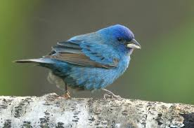 How To Attract Indigo Buntings To Your Backyard Indigo Bunting Attracting Birds Birds And Blooms