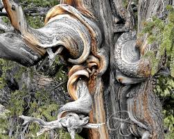 interesting trees search nature bristlecone