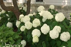 Flower Shrubs For Shaded Areas - flowering shrubs for shady areas home design inspirations