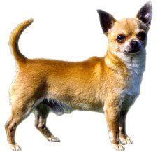 american eskimo dog vs pomeranian compare chihuahua long u0026 smooth coat vs pomeranian difference