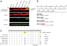 Flag Tag Dna Sequence Keratinocyte Associated Protein 2 Is A Bona Fide Subunit Of The
