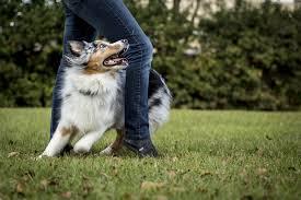 australian shepherd uses meet roo a high energy aussie who u0027s training to help kids develop