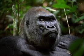 gorillas wcs org