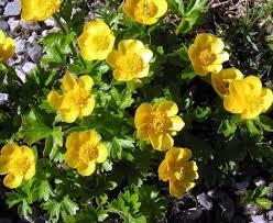 Ranunculus Alpines Herbaceous Alpines Ranunculus Montanus Molten Gold