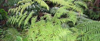 mexican tree fern cibotium schiedei