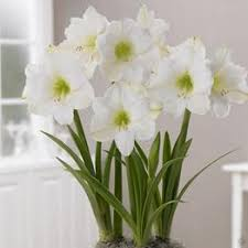 buy large amaryllis hippeastrum flower bulbs now many