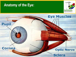 Anatomy Of The Eye Eye Injuries Welcome Anatomy Of The Eye Ppt Download