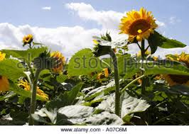 black sunflower field uk stock photo royalty free image 9904469