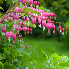 bleeding hearts planting guide u2013 easy to grow bulbs