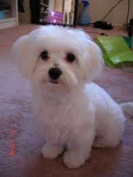 haircutsfordogs poodlemix maltese puppy haircuts otis s new haircut maltese dogs forum