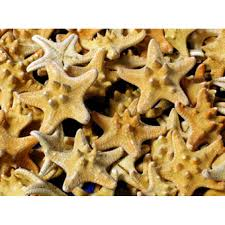 armored starfish 5 6 bulk case pack 12 natural 72583