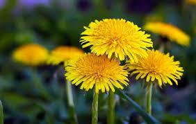 How To Cut Weeds In Backyard 8 Backyard Weeds You Can Actually Eat Rodale U0027s Organic Life