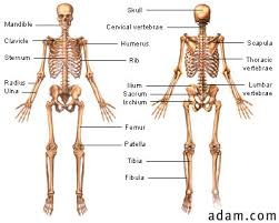 skeletal system worksheet pdf 36 1 skeletal system pdf