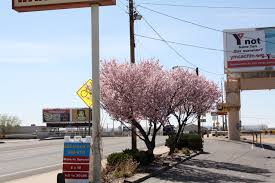 albuquerque week pretty trees in ugly places good to grow