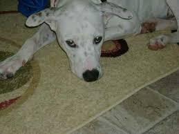 american pitbull terrier dalmatian mix pierre the dalmatian mix u0027s photo gallery