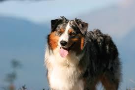 australian shepherd hair australian shepherd dog breeds at mypetsmart com