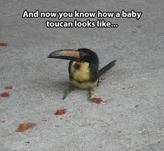 Baby Animal Memes - baby toucan animals know your meme