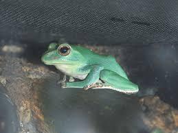 the online zoo denny u0027s tree frog