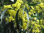 Image result for Abarema villifera