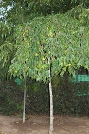 weeping mulberry ornamental trees trees gardens