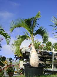 sylvester palm tree sale buy bottle palm trees for sale in orlando kissimmee