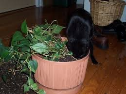 safeguarding plants from cats u2013 how to keep cats out of houseplants