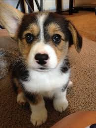 pembroke welsh corgi corgi tricolor puppy cute pets