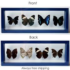 real blue butterflies mounted in blue frame for home decor flickr