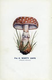 vintage botany print 1926 edible and poisonous fungi warty caps