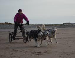 try it now dog mushing on the cumbrian coast www