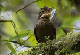 song experiments reveal 21 possible new tropical bird species