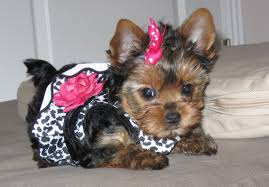 tea cup yorkie hair cuts top 105 latest yorkie haircuts pictures yorkshire terrier haircuts