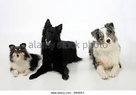 belgian sheepdog australia australian shepherd sheepdog stock photos u0026 australian shepherd