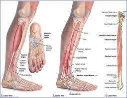 Foot Vascular Anatomy Duke Anatomy Lab 14 Anterior Thigh U0026 Leg
