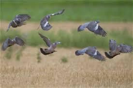 chambre d agriculture 31 beautiful chambre d agriculture haute garonne 4 pigeons ramier