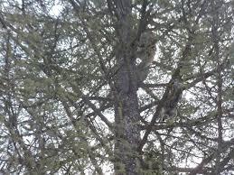 bluetick coonhound climbing tree bluetick 1 kennels bluetick1kennels www bluetick1kennels com