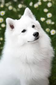 american eskimo dog new mexico beautiful japanese spitz dog frisky was my beloved childhood baby