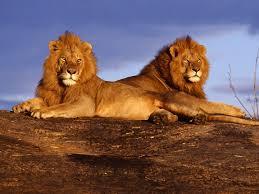 imagenes de leones salvajes gratis fondos de pantalla de leones