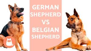 belgian sheepdog traits german shepherd vs belgian shepherd youtube