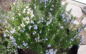 buy tuscan blue rosemary rosmarinus 5 pot rosemary buy