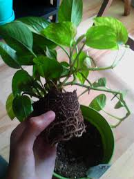 Best Low Light Indoor Plants by Garden Golden Pothos Vine Types Of Houseplants Golden Pothos