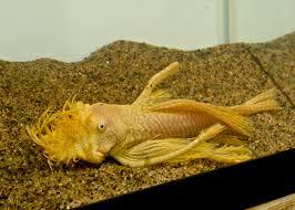 tropical freshwater aquarium fish mail order german blue rams