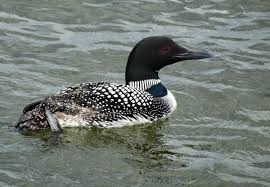 despite lead weight ban loon deaths more than in 2017