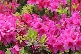 blooms flowers shrubs that bloom all year year shrubs according to season
