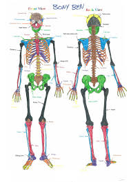 pictures blank skeleton diagram to label front and back human