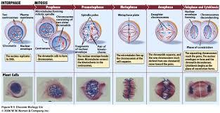 mitosis cell diagram diagram gallery wiring diagram
