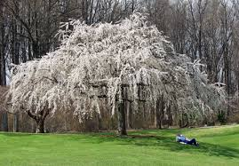white weeping cherry trees for sale fast growing trees